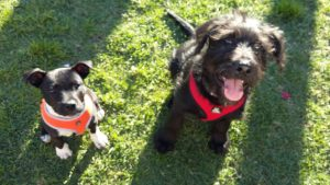 Flash and Atticus in puppy preschool for medium & large breed pups in Blacktown.