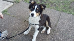 Madison the Aussie Shepherd in Canine Kindy